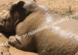 a picture of a rhino bathing in a mud hole with the tagline, never say no to opportunities including mud holes