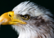 picture of a bald eagle looking intense