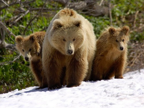 Bears in the Wild